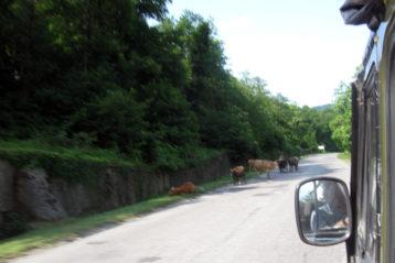 Коровы не ведают правил дорожного движения