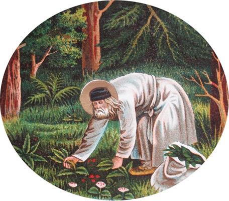 Прп. Серафим собирает траву сныть. Хромолитография нач. XX в.